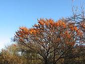 Argousier arborescent