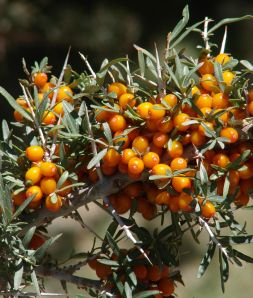 Seabuckthorn_berries, argousier
