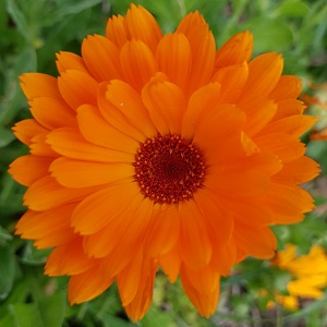 fleur-souci-300x300